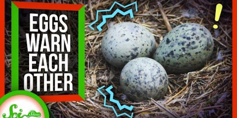 Bird Eggs Warn Each Other About Danger