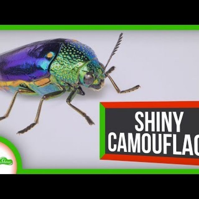 These Beetles Are Bright and Shiny… For Camouflage