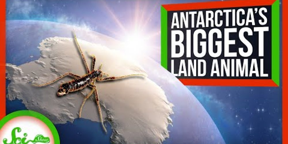 The Insect That Thrives in Antarctica
