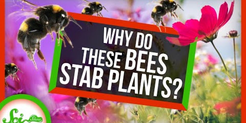 Why Are These Bees STABBING Plants?