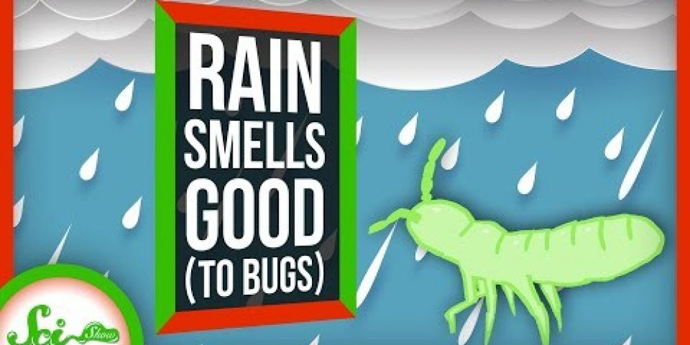 Why Does Rain Smell so Good… to Bugs?