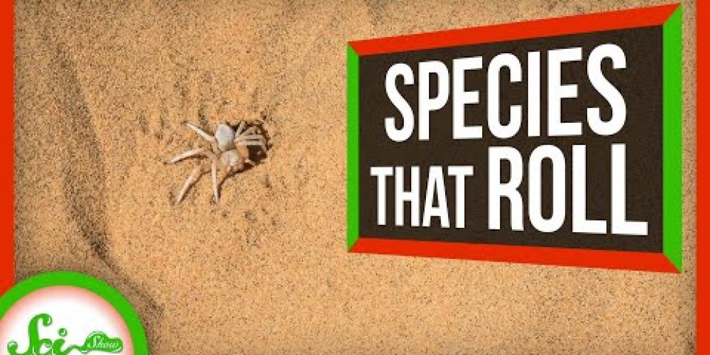 Reinventing the Wheel: 5 Species That Roll